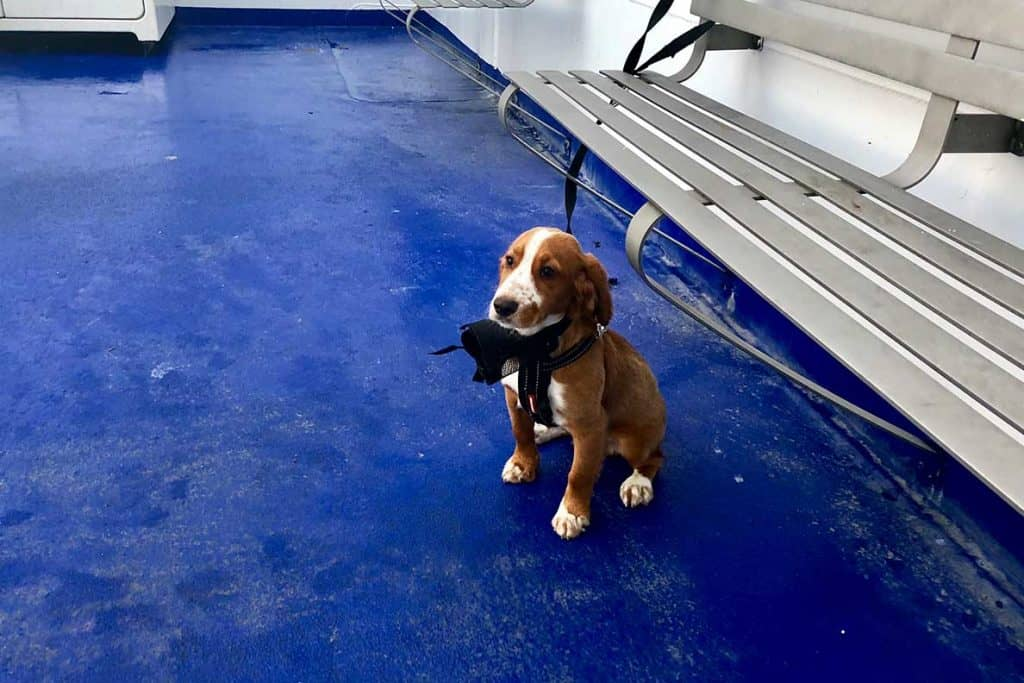 Dog travelling from UK to France with Brittany Ferries in a pet friendly cabin.
